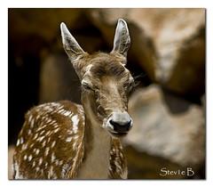 Canarian Bambi (stev1eb) Tags: nature animal deer bambi canaries lanzarotte fineartphotos