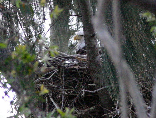 Eaglet Visible in Nest for first time 20090127