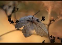 you'll be my love (silviaON) Tags: winter flower nature canon garden january hydrangea 2009 e5 hbw eos400d infinestyle betterthangood vosplusbellesphotos thedantecircle themonalisasmile
