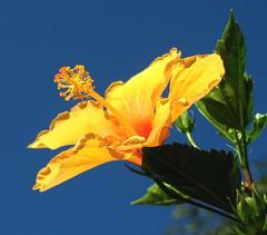yellow hibiscus flower. Rua do Tatuapé, São Paulo, Brazil (mauroguanandi) Tags: flower yellow angle hibiscus malvaceae yellowhibiscus flowerscolors funfanphotos flickrflorescloseupmacros xtremeboquet hibiscusxrosasinensis hibiscuswonder