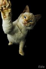 Marramamiaumiaumiau (fidocooper) Tags: pet black cat eyes darkness pentax negro ojos gato felino pata oscuridad gatuno zarpa bigotitos k10d justpentax felinidad