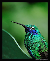 Hummingbird (Micha67) Tags: blue portrait detail macro green bird nature animal closeup michael nikon hummingbird micha soe schaefer d300 potofgold interestingshot flickrsbest bej colorphotoaward ourplanet avianexcellence theperfectphotographer ahqmacro worldsbestnikonshot mondomacro goldenart flickrsbestcreatures