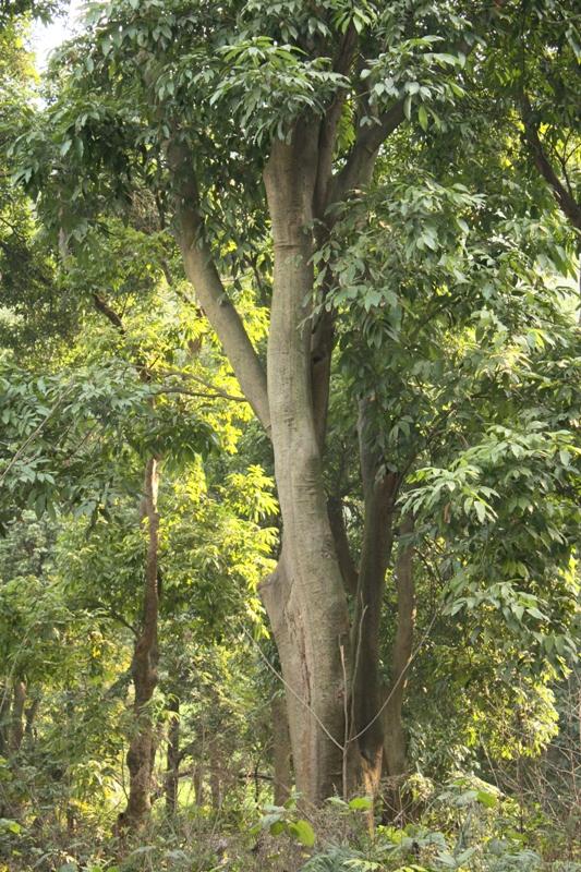 long yan trees (4)