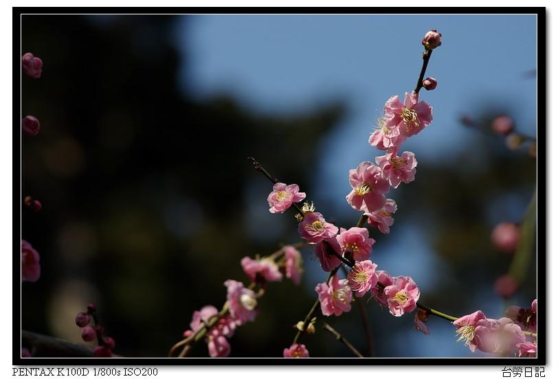 梅花杏花 by CZJ 135mm F3.5 M42