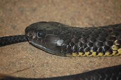 Tiger snake (msdstefan) Tags: pictures trip travel vacation holiday animal tiere nikond70 pics snake urlaub au australia nikond50 best queensland australien rtw downunder nicest tier tierwelt