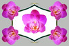 ORCHIDAMI 60 (Paul Klekotta) Tags: pink flowers orchid photoshop mirror proudshopper