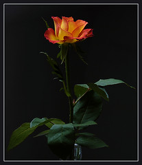 ... a little moment ... (Nord-Licht) Tags: orange black flower green rot rose yellow nikon gelb 1001nights blume 2009 d80 aplusphoto flickrestrellas excellentsflowers vosplusbellesphotos