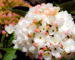 Pearls (Sky Noir) Tags: pink flowers white green skynoir bybilldickinsonskynoircom