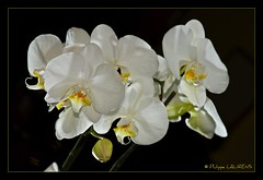 Grand Phalaenopsis blanc (philippelaurens) Tags: travel sunset vacation people blackandwhite bw sun white black france flower color nature colors fleurs photo nikon europe flickr raw day pics tripod best fave explore faves shiningstar orchide planetearth bestphoto theflickys 469 kartpostal flickrbest flickrplatinium d700 amazingshots flickraward flickrdiamond eperkeaward rubyaward beautifullshot nationalgographic theperfectpinkdiamond nikonaward thelightpainterssociety championsflickr artofimages thedantecircle flickrstoday