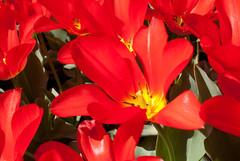 Tulpen gekte (Jeffrey NL) Tags: dutch nederland madness tulip keukenhof tulpen bloem regio tulp lissen gekte