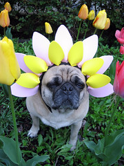 pug spring flower costume
