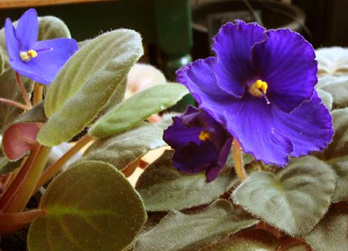 Violets2009-2