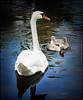 Cygnet Ring (ImageMD) Tags: park bird gardens swan florida miami cygnet keybiscayne crandon