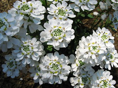 Candytuft / Iberis sempervirens /  (TANAKA Juuyoh ()) Tags: flower high hires resolution hi  res g7 sempervirens candytuft iberis