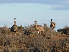 Emus (Don Shearman) Tags: wildlife australia nsw menindee emus