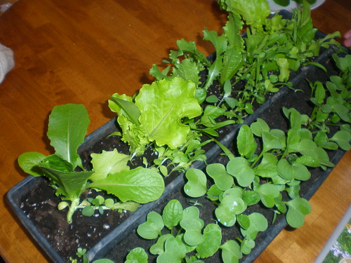 Lettuce growing beside radishes