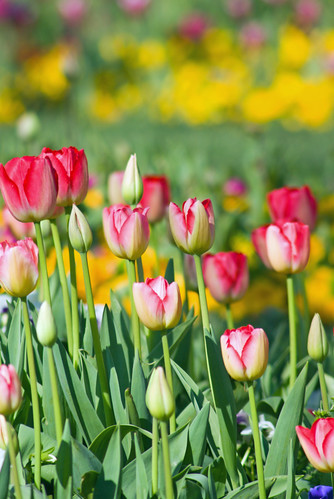 colorful tulips, istanbul tulip festival 2009, istanbul, pentax k10d