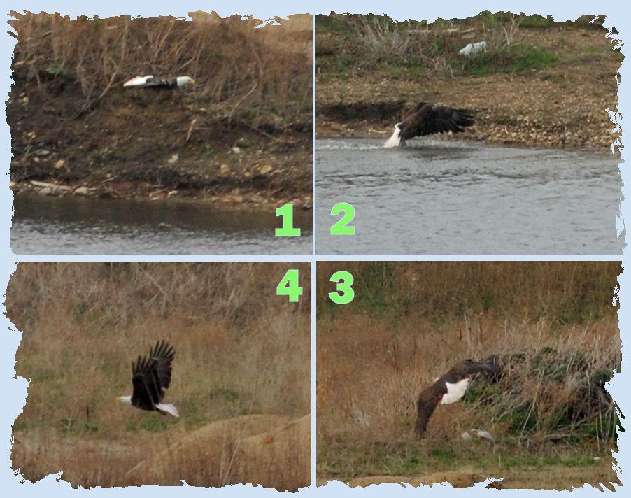 Eagle Collage.042509