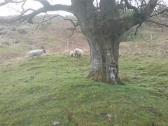 DSC00469 (Ray McC) Tags: camping trees mountains west water way walking scotland rocks cattle sheep hills highland waterfalls loch westhighlandway hillwalking tyndrum lomand glenco lochlomand rowerdennan