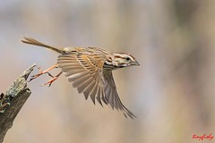 (#117) Song Sparrow Taking Off (tinyfishy (Gone to Cuba)) Tags: ontario canada bird flying inflight song sparrow songsparrow vosplusbellesphotos presqullepark