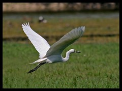 Little Egret (Egretta garzetta) flying in Sultanpur Bird Sanctuary, India (Saran Vaid) Tags: wild india white bird nature water beautiful beauty birds fauna fly flying bill inflight wings asia little bokeh wildlife indian birding wing beak feathers reserve sigma waterbird aves safari exotic national tropical elegant common habitat airborne egret wingspan soe span sanctuary spotting snowyegret birdsanctuary sighting haryana littleegret egrettagarzetta egretta sultanpur garzetta bej mywinners abigfave canoneos400d sultanpurbirdsanctuary flickraward flickrdiamond theunforgettablepictures smallwhiteheron rubyphotographer abovealltherest sigma150500 vosplusbellesphotos slbflying sigma150500mmf563dgoshsm flickraward