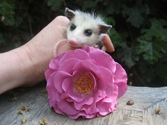 Baby opossum with flower, Mary Cummins (Mary Cummins) Tags: california wild rescue baby fish game animal losangeles los babies angeles wildlife mary ill department cummins injured broker rehabilitation appraisal appraiser orphaned wildliferehabilitation californiadepartmentoffishandgame animaladvocates marycummins marycumminscobb marycobb wildliferehabilitator wwwanimaladvocatesus californiadepartmentoffishgame animaladvocatesus marycumminscom marykcummins cumminsrealestateservices