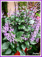 Potted Plectranthus 'Mona Lavender' (Lavender Spur Flower), in our tropical garden - July 2006