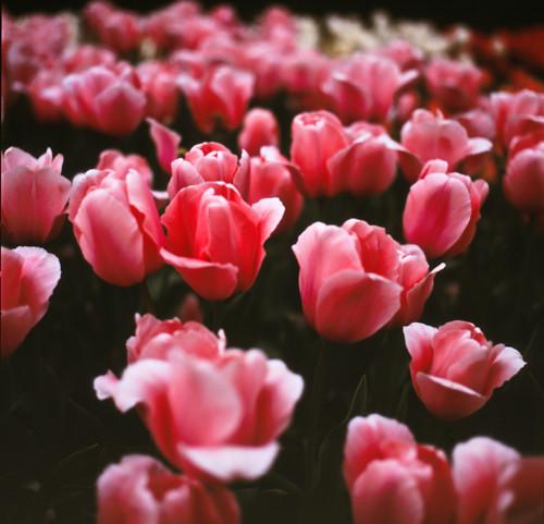 Tulip**