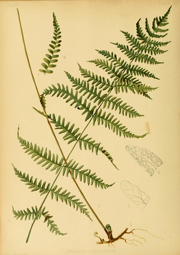 Marsh Shield Fern