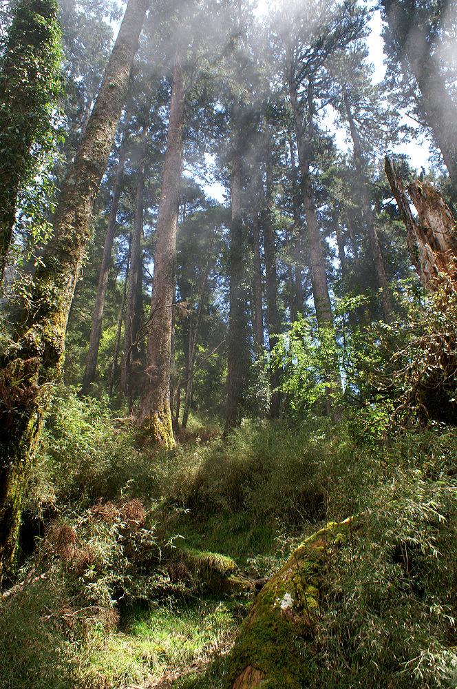 南湖大山day2-61 雲杉森林
