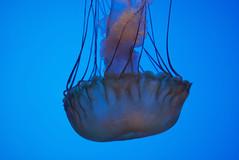 Jelly Fish at the Georgia Aquarium (Cop A Squat Toys) Tags: blue jellyfish georgiaaquarium