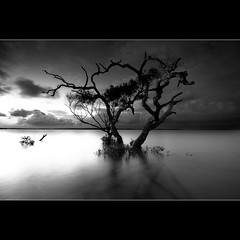 A lone tree is a monument to its tenacity to survive against all odds (Garry - www.visionandimagination.com) Tags: bw tree water clouds bay australia mangrove lonely drama lonetree thesecretlifeoftrees wwwvisionandimaginationcom