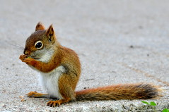 Red Squirrel 4 (All-seeing Cuttlefish) Tags: red animal squirrel wildlife gimp simcoecounty cotcmostfavorited explored nikond90