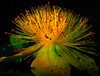 Shine on you crazy diamond (scorpion (13)) Tags: plant black flower green yellow garden amber searchthebest blossom blüte naturesfinest johanniskraut fantasticflower outstandingshot anawesomeshot overtheexcellence theperfectphotographer damniwishidtakenthat empyreanflora