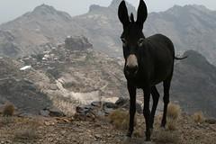 Eselsblick (Morgenlnder) Tags: donkey yemen esel jemen