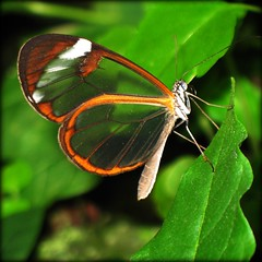 Look straight through the Wings of the Butterfly (Batikart) Tags: vacation orange white plant flower macro green eye nature glass leaves animal closeup fauna canon butterfly insect square geotagged leaf interestingness spring holidays urlaub natur pflanze wing butterflies lepidoptera explore tropical iridescent grn blume makro blatt fp frontpage insekt weiss 500faves auge 2009 glas tender tier 2010 schmetterling frhling a610 flgel 20000views glasswing canonpowershota610 30000views 10000views 15000views nymphalinae fhler 100faves i500 explorefrontpage 200faves gretaoto transculent palp viewonblack 300faves superaplus 400faves 600faves batikart glasflgler 700faves 800faves