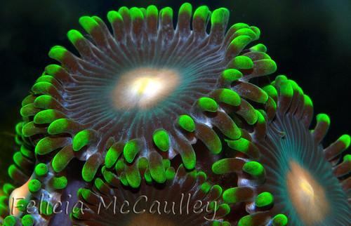 Green Zoanthus