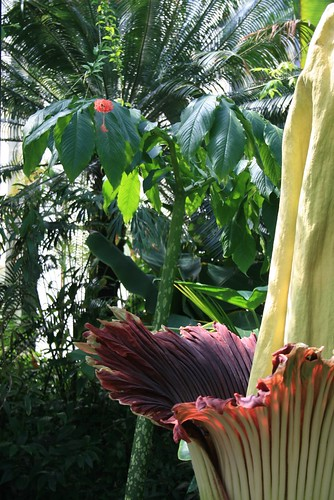 Corpse Flower in front of Single Leaf