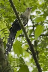 Green-billed Malkoha (Phaenicophaeus tristis) (Z.Faisal) Tags: bird nature nikon beak feathers aves nikkor bangladesh avian bipedal bangla faisal desh d300 zamir tristis malkoha pakhi greenbilledmalkoha phaenicophaeus endothermic nikkor300mmf4 phaenicophaeustristis malkoa greenbilled zamiruddin zamiruddinfaisal zfaisal bonkokil shobujthotmalkoa shobujthot