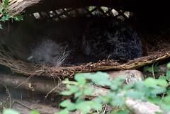 Binturong im Zooparc de Trgomeur (Ulli J.) Tags: france zoo frankreich bretagne binturong asianbearcat marderbr trgomeur zooparcdetrgomeur