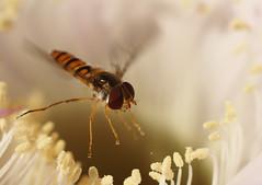 lopom a pollent \ i'm stealing pollen (benyheandras) Tags: cactus flower insect fly por virg kaktusz rovar makr virgpor hdmezvsrhely repl flickrlovers