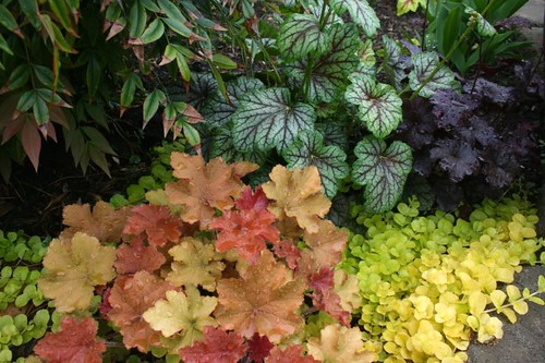 Heucheras, May 2011