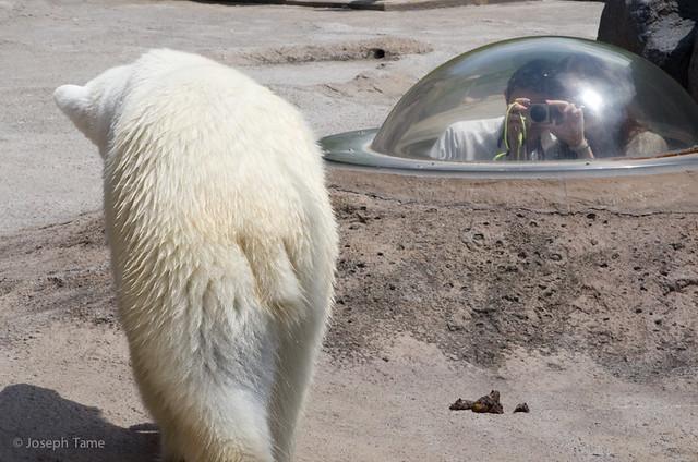 asahiyama_zoo-polar-bear_6093