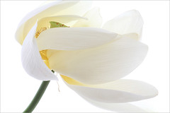 Lotus Flower - IMG_5261-1000 (Bahman Farzad) Tags: flower macro yoga peace lotus relaxing peaceful meditation therapy lotusflower lotuspetal lotuspetals lotusflowerpetals lotusflowerpetal