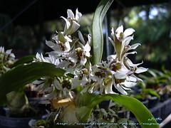 Dendrobium peguanum : Orchid