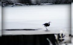 Great Blue Heron on Ice (mightyquinninwky) Tags: cold bird ice heron geotagged weeds kentucky waterbird ave blueheron waterfowl frozenwater greatblueheron ohioriver rivervalley freezingrain lateafternoon winterweather westernkentucky riverbottoms uniontownkentucky ohioriverbottoms unioncountykentucky ohiorivervalley weatherphotography avianphotography wintermix thecommonwealthofkentucky thebluegrass weatherphotogaphy frozenbackwater geo:lat=37770189 geo:lon=87942327