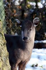 Michie's Tufted Deer (Elaphodus cephalophus michianus) (Amanda J M) Tags: snow zoo deer tufted twycross michies cephalophus elaphodus michianus
