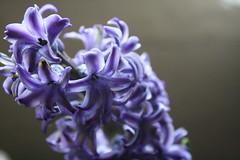 Hyacinthus Orientalis (natsumi_kotsuki) Tags: flowers nature mauve hyacinthus flowerscolors