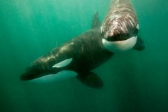 Killer Whales (Orcas) - Sea of Cortez, Mexico (James R.D. Scott) Tags: wild mexico underwater dolphins bajacalifornia whales fins orcas killerwhales marinelife blackfish cetacea