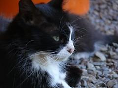 siouxie (ChristianDiaz) Tags: fauna cat chat gato felino mirada